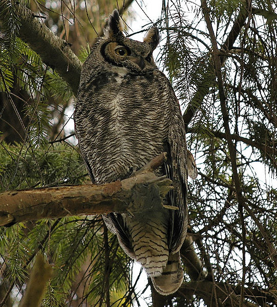File:Great Horned Owl at sanctuary in BC.jpg