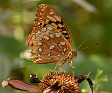 Great Spangled Fritillary Speyeria cybele Damaged 2397px.jpg