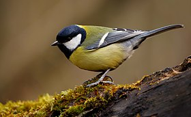 Great tit (Parus major), Parc du Rouge-Cloitre, Forêt de Soignes, Brussels (26194636951).jpg