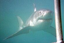 .::Tiburón Blanco::. 220px-Great_white_Dyer_island_2010-07
