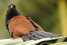 Greater Coucal.jpg