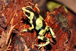 Green-and-Black-poison-dart-frog.jpg