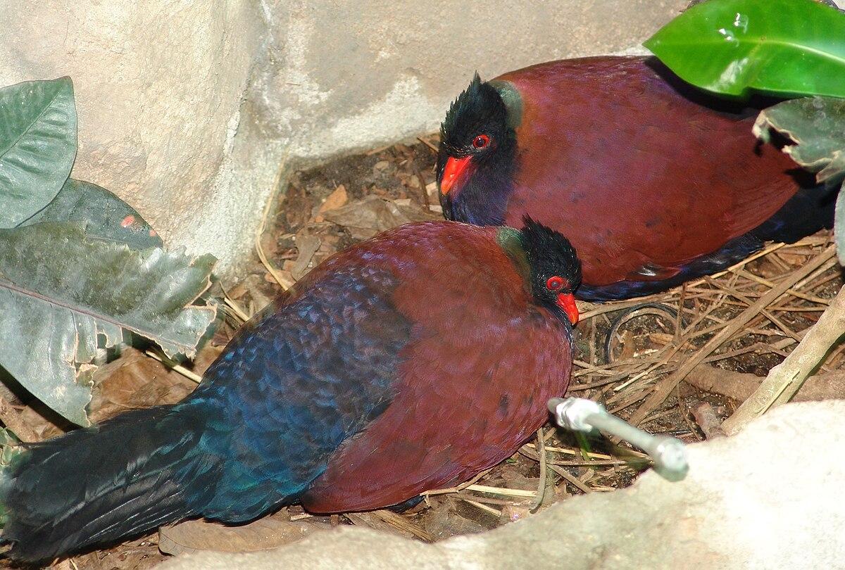 Pheasant Pigeon Wikipedia