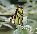Green Longwing (2765800684).jpg
