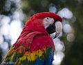 Green Winged x Scarlet Macaw Hybrid (13763376255).jpg