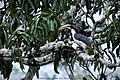 Grey Hornbill on a Atamba Tree.jpg