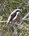 Grey backed fiscal L excubitoroides 2.jpg