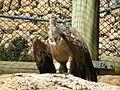 Griffon Vulture 01.JPG