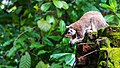 Grizzled Giant Squirrel in Sri Lanka 06.jpg