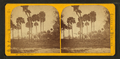 Group of palmettos, from Robert N. Dennis collection of stereoscopic views 2.png