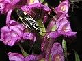 Grypocoris sexguttatus o stysi sobre la orquídea fragante (Gymnadenia conopsea ) (14489548367).jpg