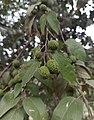 Guazuma ulmifolia (Malvaceae).jpg