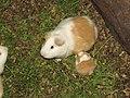 Guinea Pigs - Cuy - Inti Nan Museum - El Mitad del Mundo - equator exhibit - Quto Ecuador (4870077791).jpg