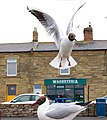 Gulls in close-up, Amble - geograph.org.uk - 1366402.jpg
