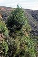 Gymnostoma poissonianum (Scott Zona) 001.jpg