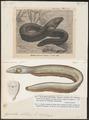 Gymnotus electricus - 1700-1880 - Print - Iconographia Zoologica - Special Collections University of Amsterdam - UBA01 IZ15100117.tif