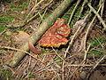 Hřibovitá houba.jpg