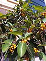 HKCL CWB tree 高山榕 Ficus altissima Oct-2013 009.JPG
