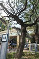 HK CWB 高士威道 Causeway Bay Road 維多利亞公園 Victoria Park tree Sept 2017 IX1 39.jpg
