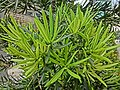 HK Mid-Levels Bonham Road 羅漢松 Podocarpus tree leaves Apr-2013.JPG