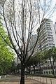 HK TST 尖沙咀 Tsim Sha Tsui 漆咸道南 Chatham Road South trees June 2019 IX2 01.jpg