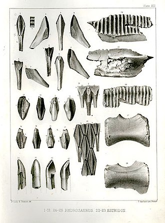 Timeline of United States discoveries - Plate XIII from Cretaceous Reptiles of the United States, showing various Hadrosaurus teeth (top) and vertebrae (bottom right). The teeth on the bottom left belonged to Astrodon.