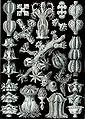 Haeckel Gorgonida.jpg