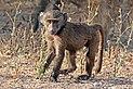 Hamadryas baboon (Papio hamadryas) juvenile male.jpg