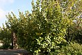 Hamamelis vernalis 10zz.jpg