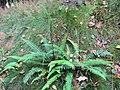 Hard Fern (Blechnum spicant) - geograph.org.uk - 1740449.jpg
