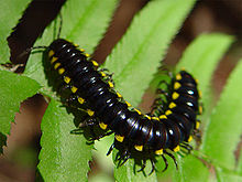 A millipede with contrasting, yellow-tipped keels on a fern.