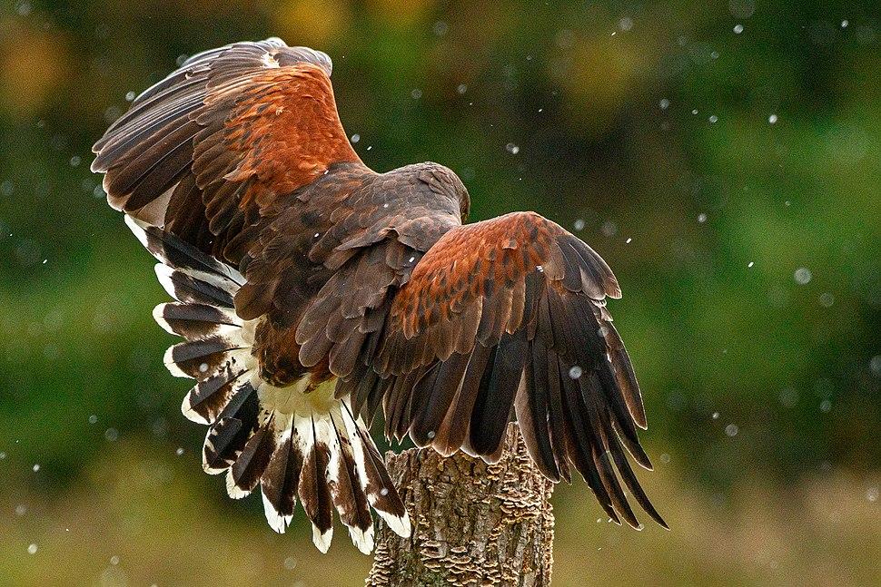 Harris' Hawk plumage