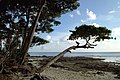 Havelock Island, Trees on the beach, Andaman Islands.jpg