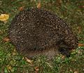 Hedgehog - wishing the photographer would just go away - Flickr - S. Rae.jpg