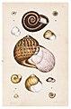 Helena Scott Australian land shells Cox 1868 plate 6 big.jpg