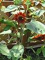 Helianthus annuus cv7.jpg
