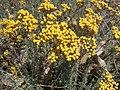 Helichrysum italicum subsp microphyllum g07.jpg