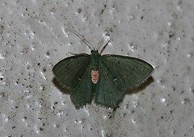 Hemithea tritonaria? (Geometridae Geometrinae).jpg