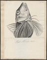 Hemitripterus americanus - 1700-1880 - Print - Iconographia Zoologica - Special Collections University of Amsterdam - UBA01 IZ13300065.tif