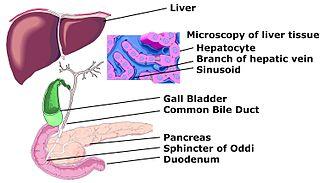 Hepatocyte - Image: Hepato biliary