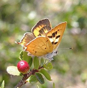 Hermes copper butterfly (5559012176).jpg