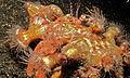 Hermit Crab (Dardanus pedunculatus) carrying several Anemones (Calliactis sp.) (8461388227).jpg