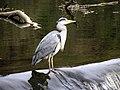 Heron, Lover's Retreat (1) - geograph.org.uk - 1708155.jpg