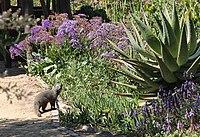 Herpestidae Galerella pulverulenta Small Grey Mongoose EOS 00742s.jpg