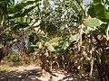 Hf9906Banana plantations Philippinesfvf 15.JPG