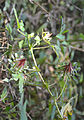 Hibiscus surattensis plant 02.jpg