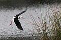Himantopus leucocephalus flying, Edithvale Wetlands, Melbourne, Victoria.jpg