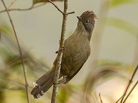 Hoary-throated Barwing Neora Valley NP India.jpg