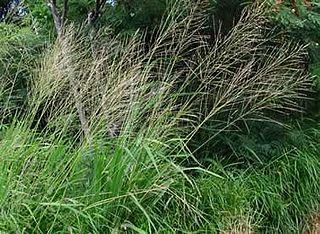 <i>Homolepis</i> genus of plants
