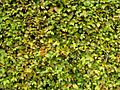 Hornbeam hedge surface green.jpg